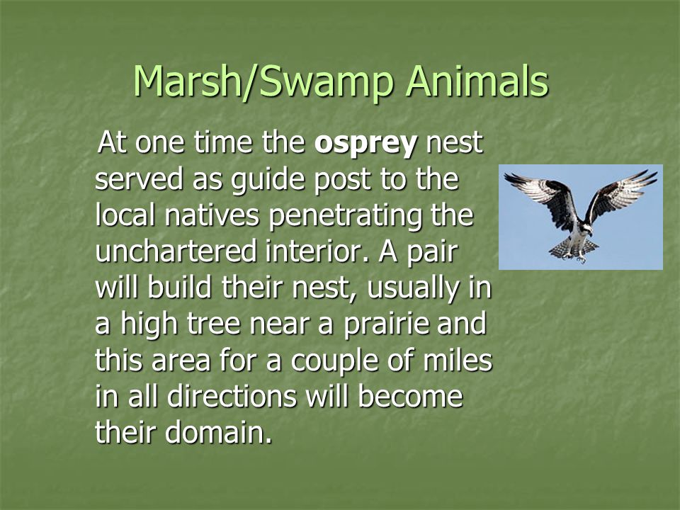 Marsh/Swamp Animals At one time the osprey nest served as guide post to the local natives penetrating the unchartered interior. A pair will build thei