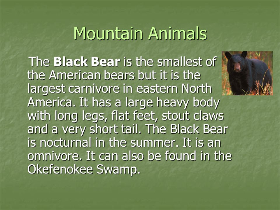 Mountain Animals The Black Bear is the smallest of the American bears but it is the largest carnivore in eastern North America. It has a large heavy b
