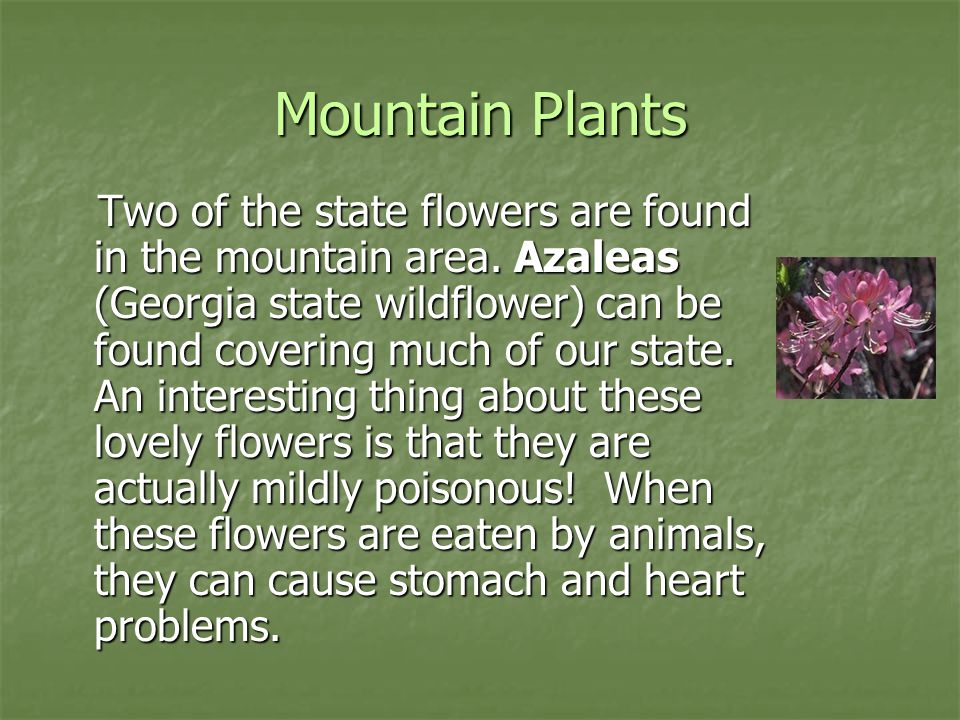 Mountain Plants Two of the state flowers are found in the mountain area. Azaleas (Georgia state wildflower) can be found covering much of our state. A