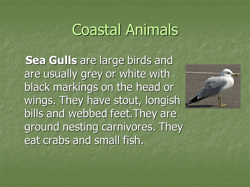 Coastal Animals Sea Gulls are large birds and are usually grey or white with black markings on the head or wings. They have stout, longish bills and w