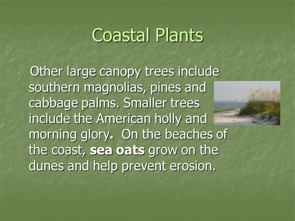 Coastal Plants Other large canopy trees include southern magnolias, pines and cabbage palms. Smaller trees include the American holly and morning glor