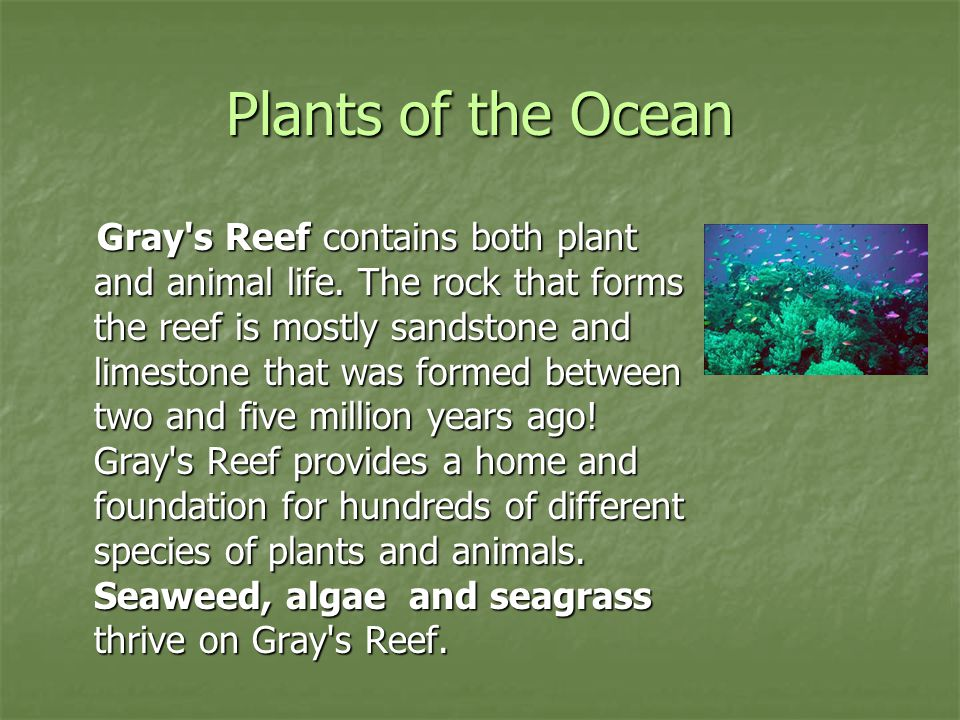 Plants of the Ocean Gray's Reef contains both plant and animal life. The rock that forms the reef is mostly sandstone and limestone that was formed be