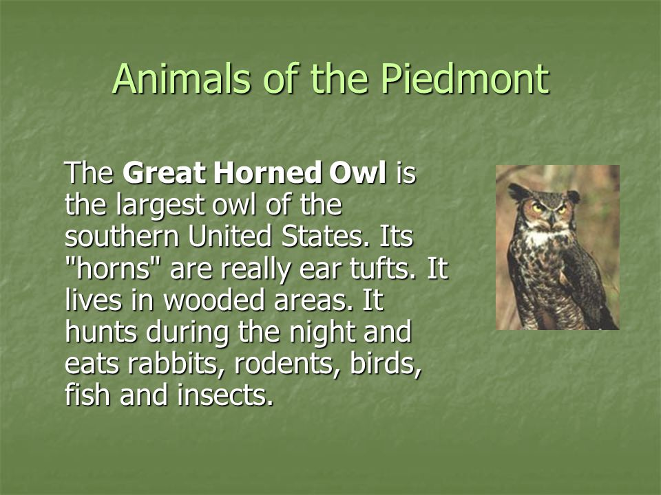 Animals of the Piedmont The Great Horned Owl is the largest owl of the southern United States. Its