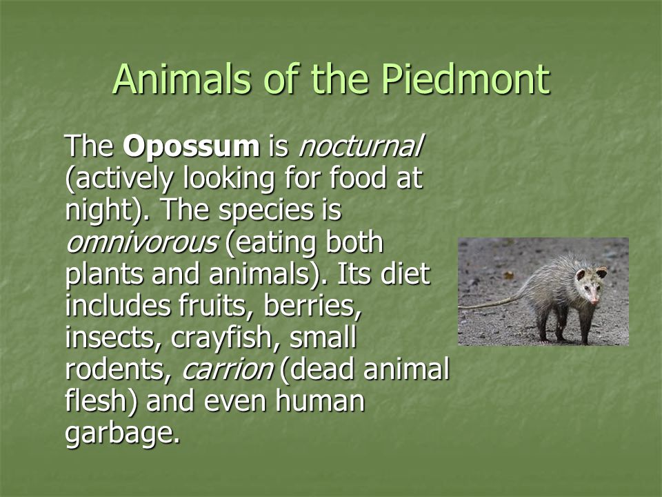 Animals of the Piedmont The Opossum is nocturnal (actively looking for food at night). The species is omnivorous (eating both plants and animals). Its