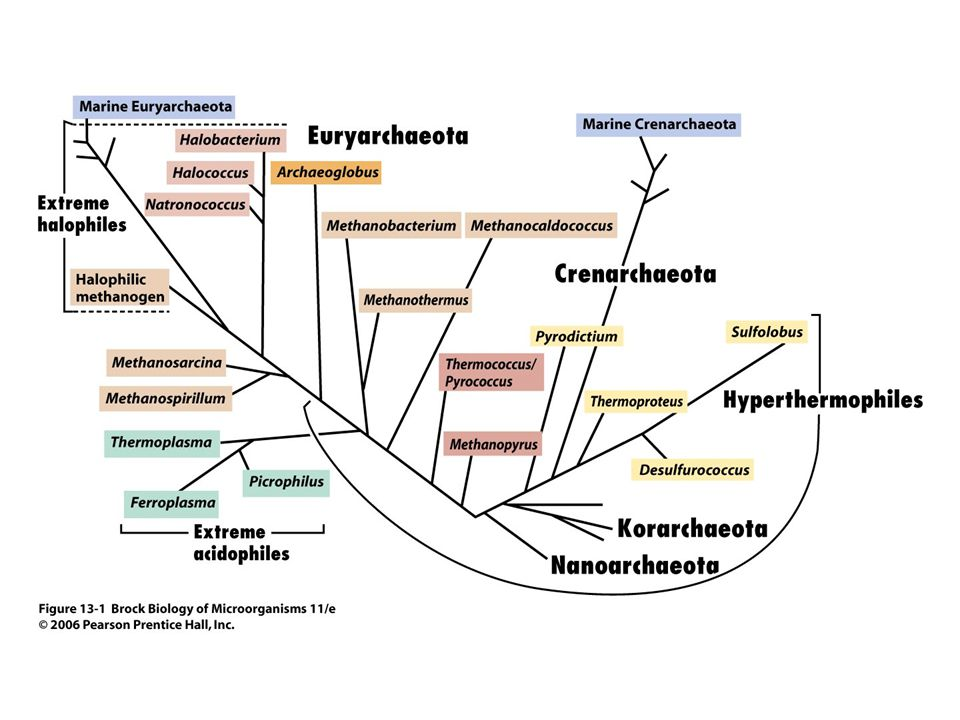 Thermoplasma, Ferroplasma, and Picrophilus are extremely acidophilic thermophiles that form their own phylogenetic family of Archaea inhabiting coal refuse piles and highly acidic solfataras.