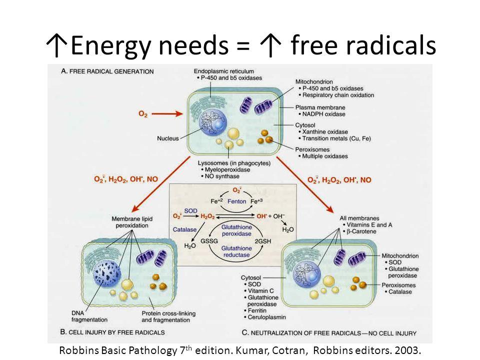 ↑Energy needs = ↑ free radicals Robbins Basic Pathology 7 th edition. Kumar, Cotran, Robbins editors. 2003.