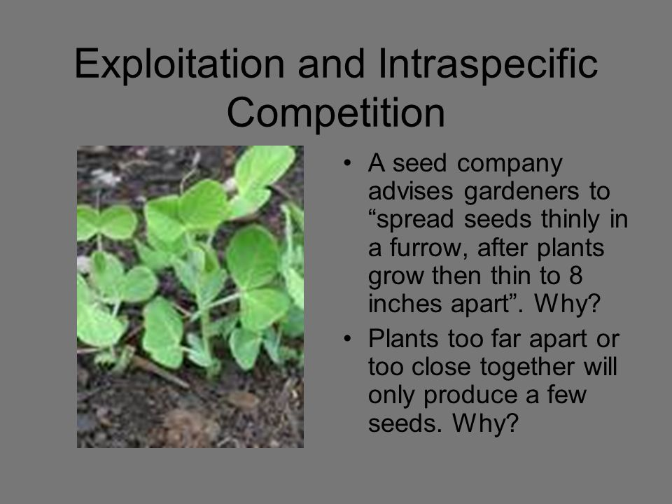 "Exploitation and Intraspecific Competition A seed company advises gardeners to ""spread seeds thinly in a furrow, after plants grow then thin to 8 inch"