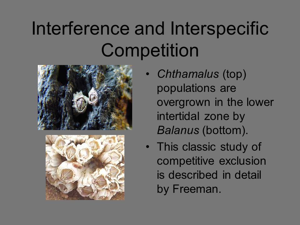 Interference and Interspecific Competition Chthamalus (top) populations are overgrown in the lower intertidal zone by Balanus (bottom). This classic s