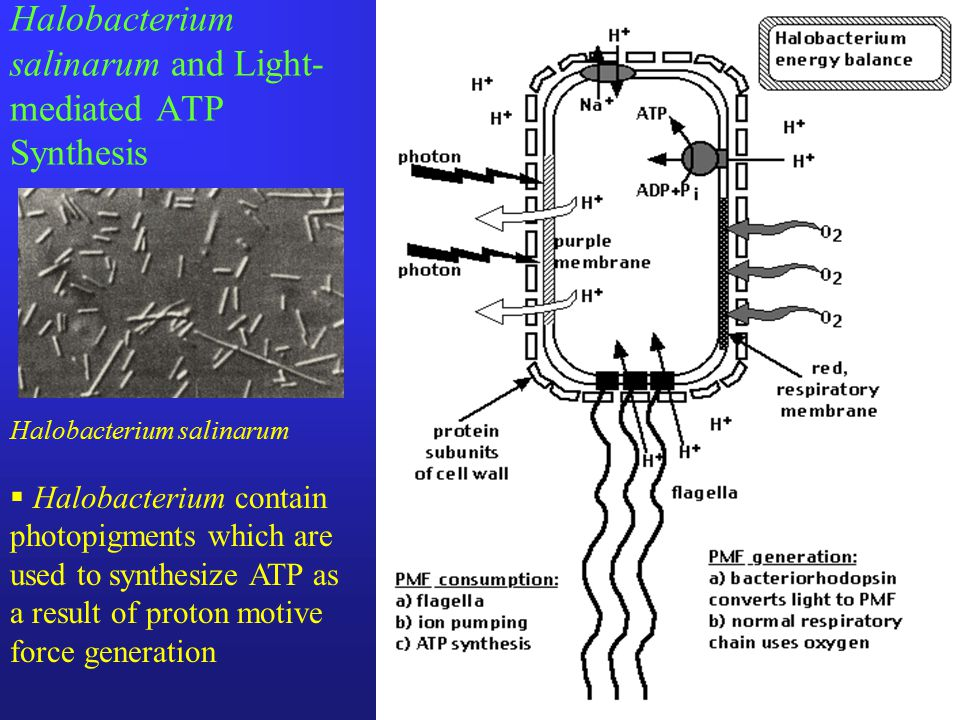 Halobacterium salinarum and Light- mediated ATP Synthesis Halobacterium salinarum  Halobacterium contain photopigments which are used to synthesize ATP as a result of proton motive force generation