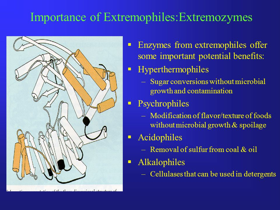 Importance of Extremophiles:Extremozymes  Enzymes from extremophiles offer some important potential benefits:  Hyperthermophiles –Sugar conversions without microbial growth and contamination  Psychrophiles –Modification of flavor/texture of foods without microbial growth & spoilage  Acidophiles –Removal of sulfur from coal & oil  Alkalophiles –Cellulases that can be used in detergents