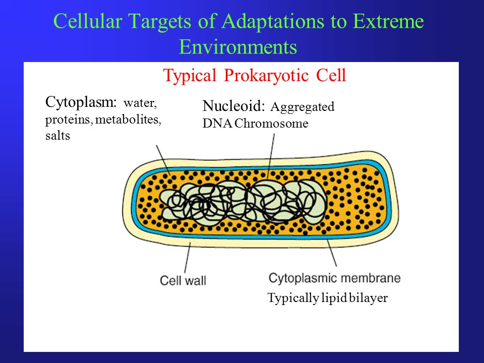 Cellular Targets of Adaptations to Extreme Environments Cytoplasm: water, proteins, metabolites, salts Nucleoid: Aggregated DNA Chromosome Typically lipid bilayer Typical Prokaryotic Cell