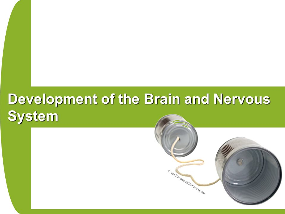 Development of the Brain and Nervous System