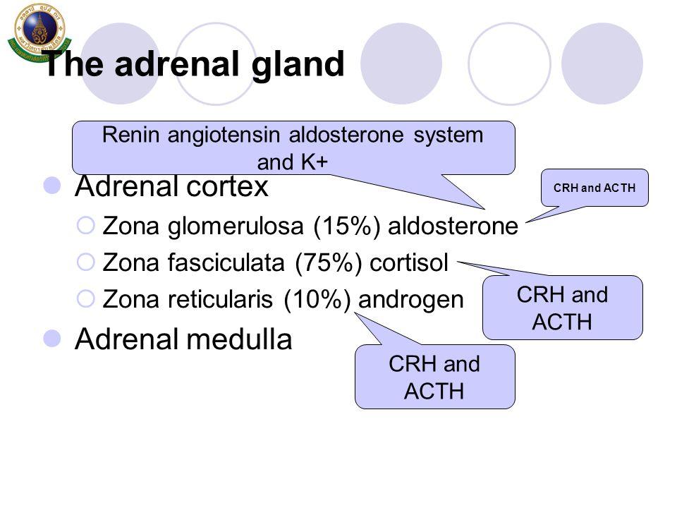 The adrenal gland Adrenal cortex  Zona glomerulosa (15%) aldosterone  Zona fasciculata (75%) cortisol  Zona reticularis (10%) androgen Adrenal medu