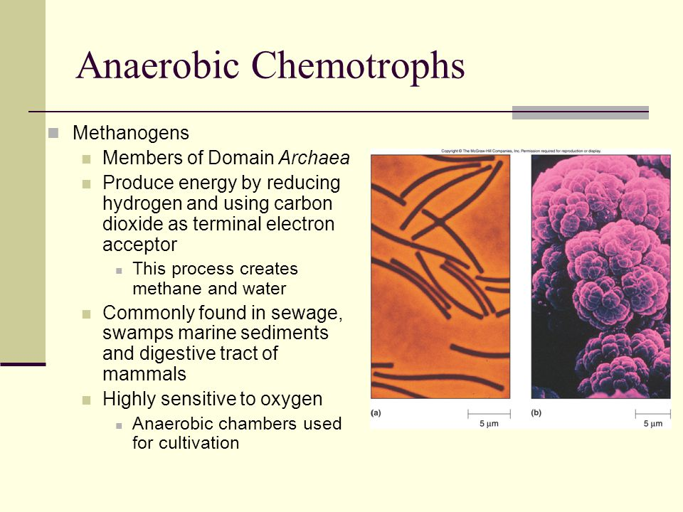 Aerobic Chemoorganotrophs Obligate aerobes obtain energy using aerobic respiration exclusively None use fermentation Characteristic genera include Micrococcus Gram-positive cocci found in soil and dust Produce yellow pigmented colonies Mycobacterium Gram-positive bacterium Live on dead and decaying matter Pseudomonas Gram-negative rods Motile and often pigmented Common opportunistic pathogen Thermus and Deinococcus Both have scientific and commercial uses Thermus produces Taq polymerase Dinococcus used to clean up radioactive contamination