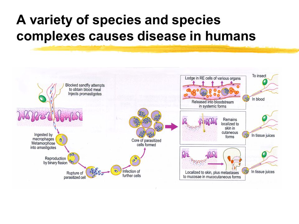 A variety of species and species complexes causes disease in humans