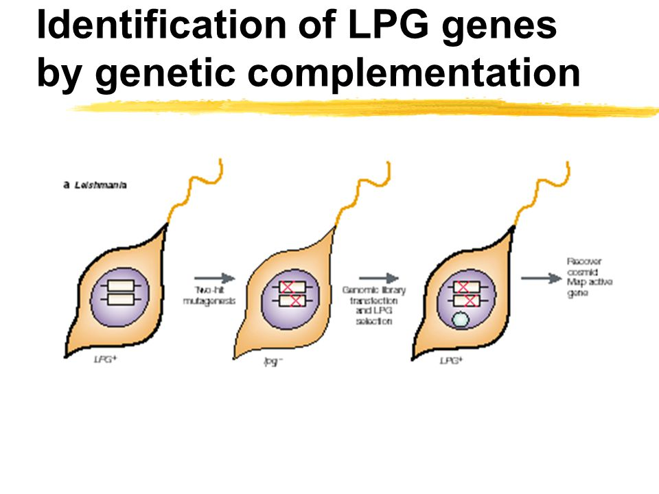 Identification of LPG genes by genetic complementation