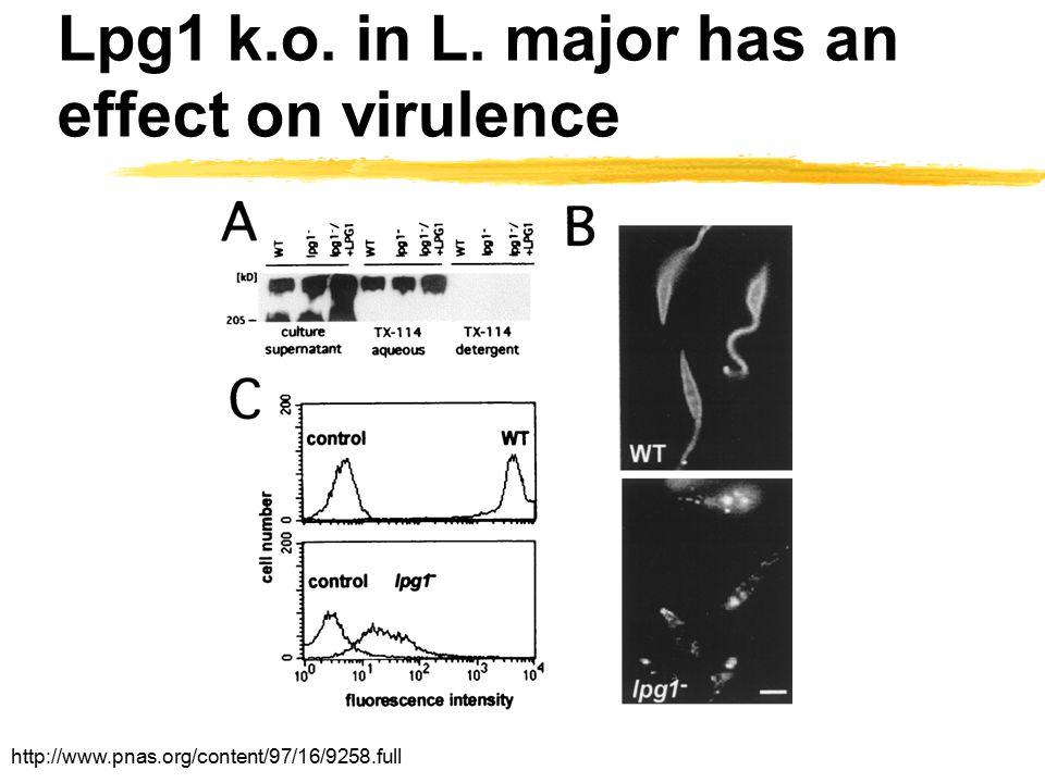 Lpg1 k.o. in L. major has an effect on virulence http://www.pnas.org/content/97/16/9258.full