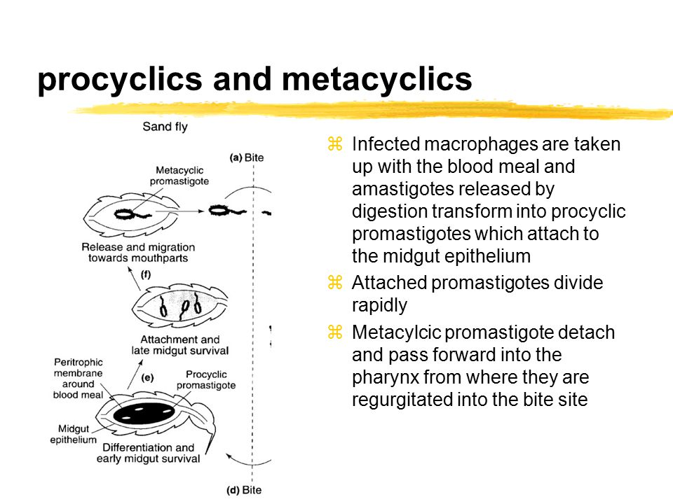 procyclics and metacyclics zInfected macrophages are taken up with the blood meal and amastigotes released by digestion transform into procyclic promastigotes which attach to the midgut epithelium zAttached promastigotes divide rapidly zMetacylcic promastigote detach and pass forward into the pharynx from where they are regurgitated into the bite site