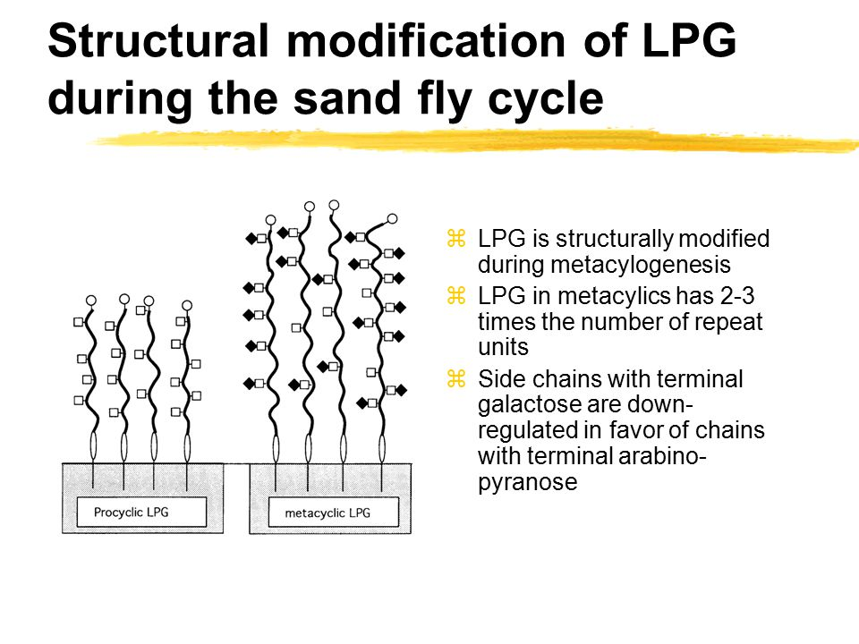 Structural modification of LPG during the sand fly cycle zLPG is structurally modified during metacylogenesis zLPG in metacylics has 2-3 times the number of repeat units zSide chains with terminal galactose are down- regulated in favor of chains with terminal arabino- pyranose