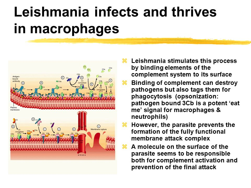 Leishmania infects and thrives in macrophages zLeishmania stimulates this process by binding elements of the complement system to its surface zBinding of complement can destroy pathogens but also tags them for phagocytosis (opsonization: pathogen bound 3Cb is a potent 'eat me' signal for macrophages & neutrophils) zHowever, the parasite prevents the formation of the fully functional membrane attack complex zA molecule on the surface of the parasite seems to be responsible both for complement activation and prevention of the final attack