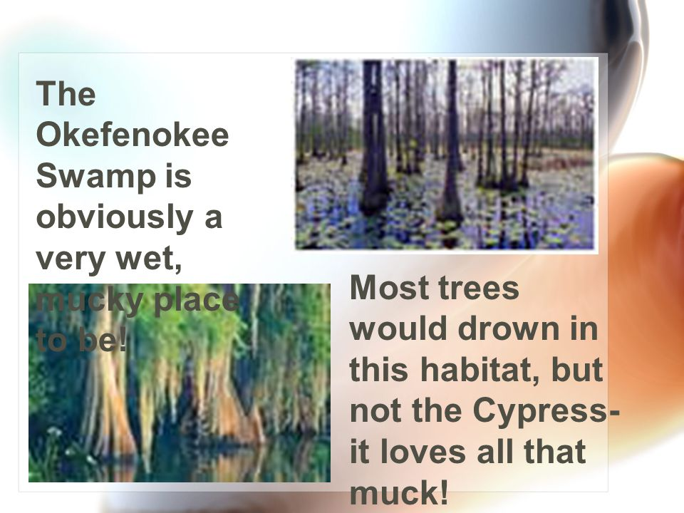 In the Coastal Plain, you might see….. marshes and swamps. The Okefenokee Swamp one of the largest swamps in the U.S. and is a habitat for many differ