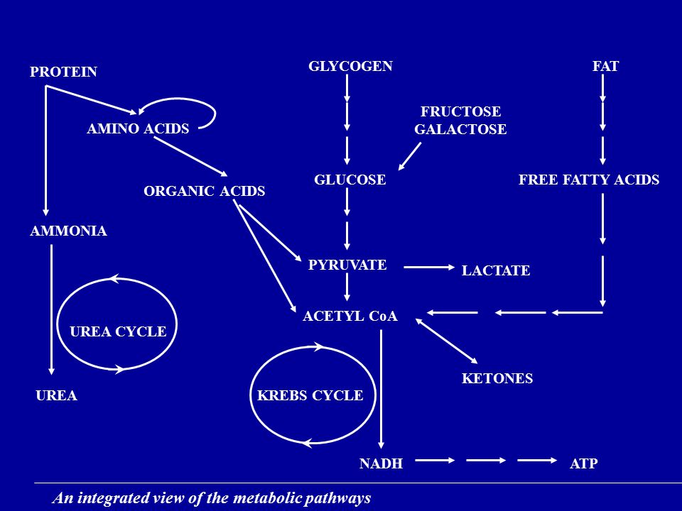 PROTEIN GLYCOGENFAT AMINO ACIDS FRUCTOSE GALACTOSE FREE FATTY ACIDS AMMONIA UREA UREA CYCLE ORGANIC ACIDS GLUCOSE PYRUVATE ACETYL CoA KREBS CYCLE NADH KETONES ATP LACTATE An integrated view of the metabolic pathways