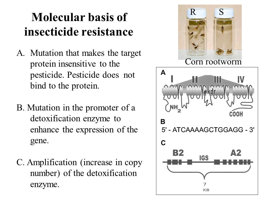 Molecular basis of insecticide resistance A.Mutation that makes the target protein insensitive to the pesticide.
