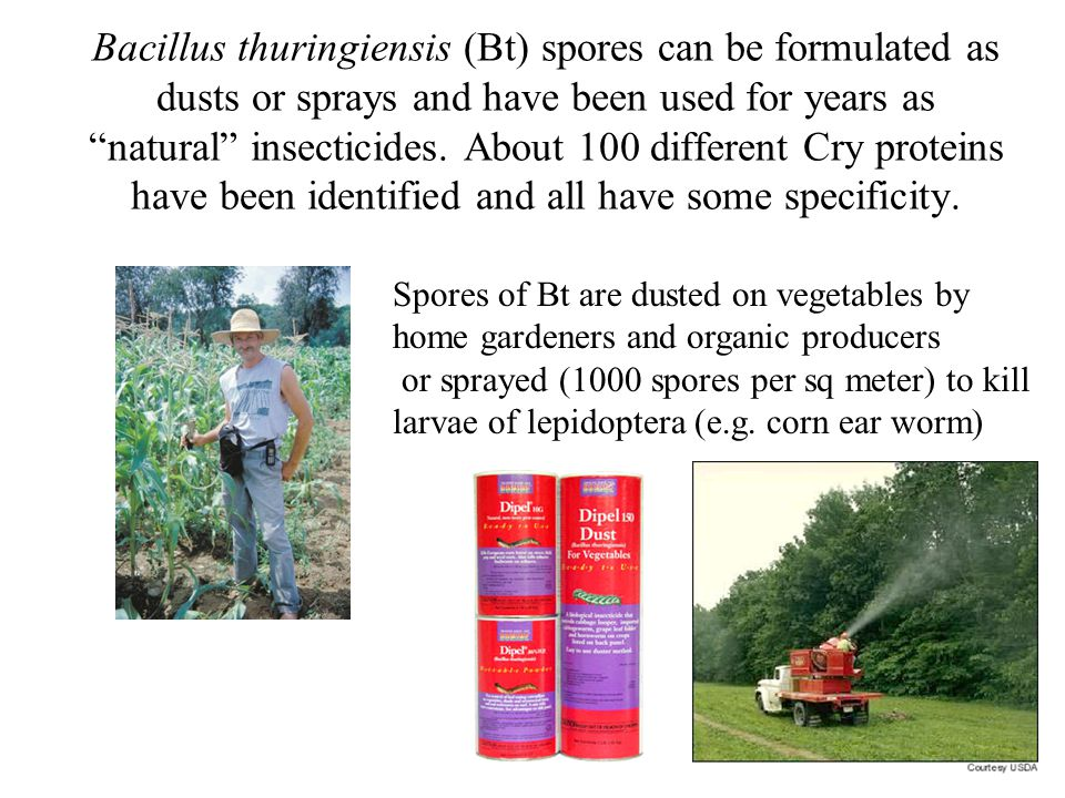 Bacillus thuringiensis (Bt) spores can be formulated as dusts or sprays and have been used for years as natural insecticides.