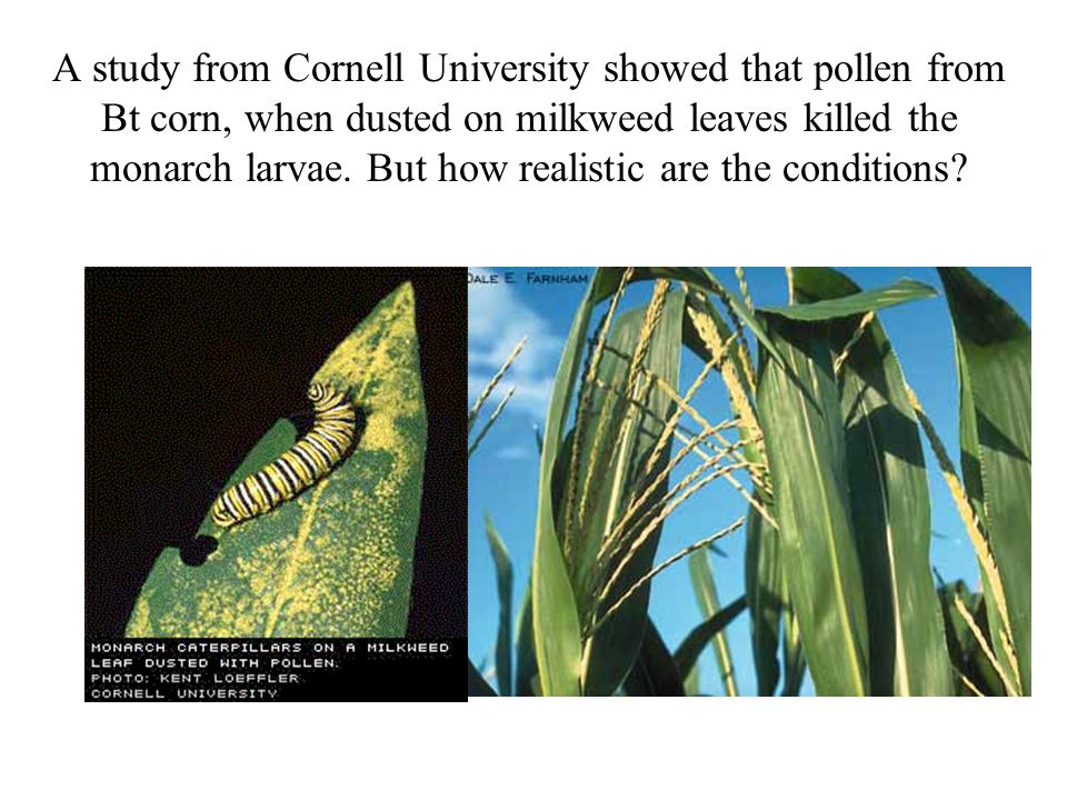 A study from Cornell University showed that pollen from Bt corn, when dusted on milkweed leaves killed the monarch larvae.