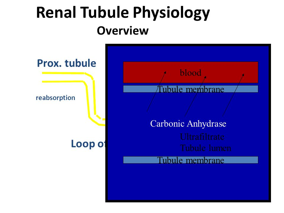 Renal Tubule Physiology Overview Prox. tubuleDistal Tubule Loop of Henle Collecting duct reabsorption Carbonic Anhydrase blood Tubule membrane Ultrafi