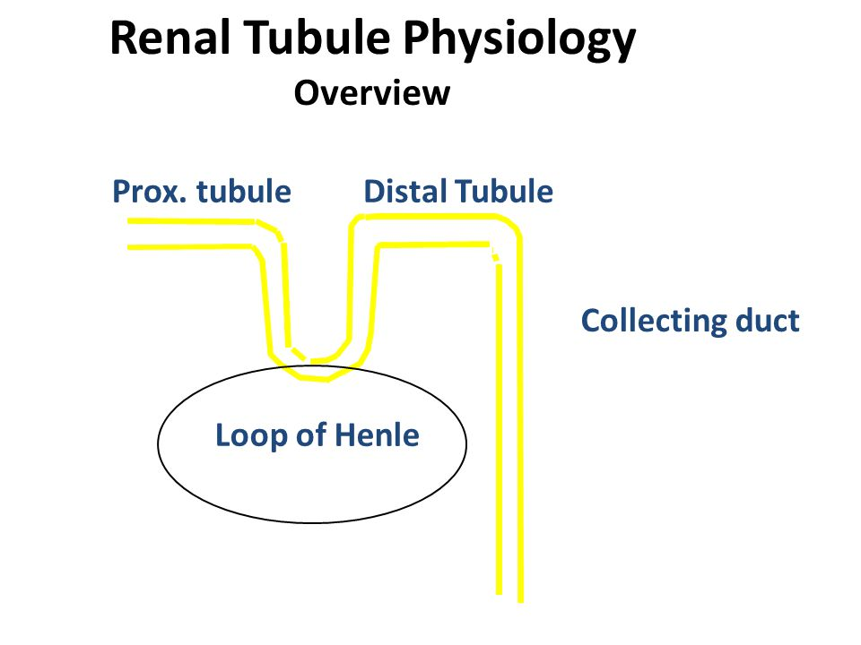 Renal Tubule Physiology Overview Prox. tubuleDistal Tubule Loop of Henle Collecting duct