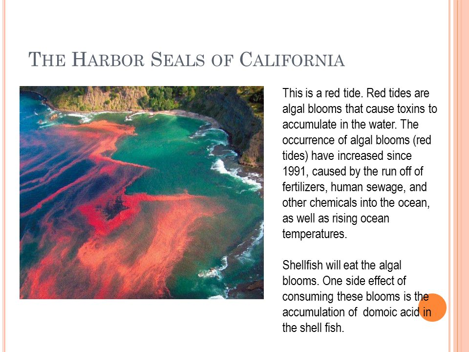 T HE H ARBOR S EALS OF C ALIFORNIA This is a red tide.