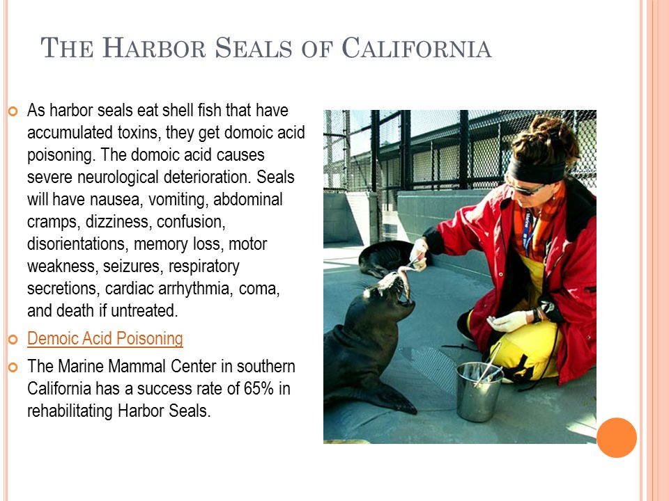 T HE H ARBOR S EALS OF C ALIFORNIA As harbor seals eat shell fish that have accumulated toxins, they get domoic acid poisoning.