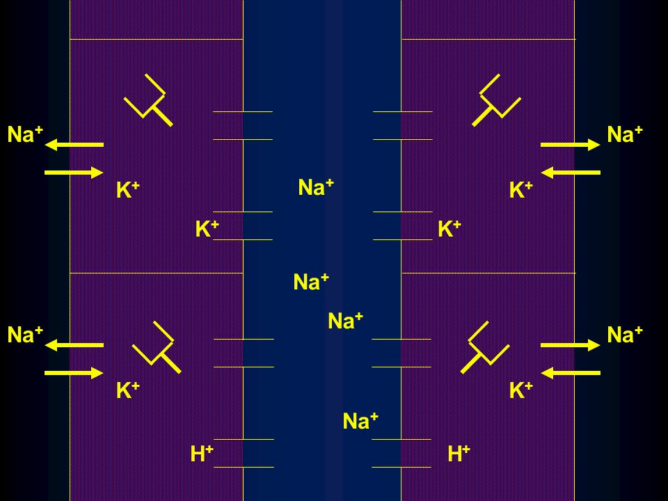 Na + K+K+ K+K+ K+K+ H+H+ K+K+ K+K+ K+K+ H+H+