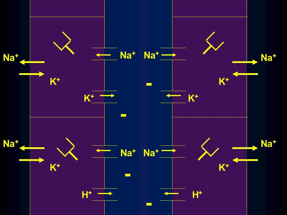 Na + K+K+ K+K+ K+K+ H+H+ K+K+ K+K+ K+K+ H+H+ - - - -