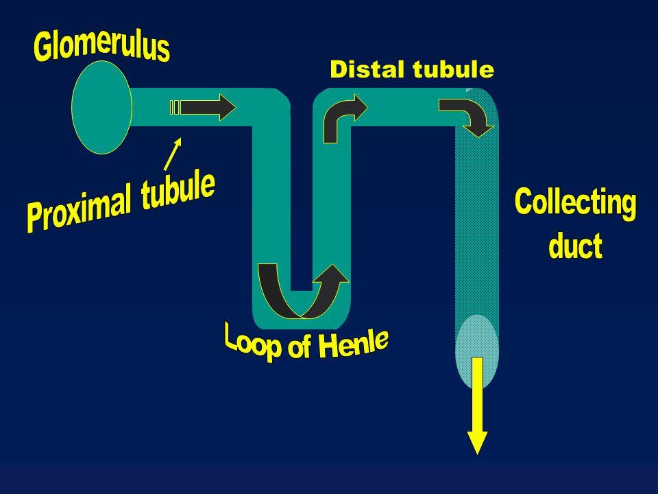 Distal tubule