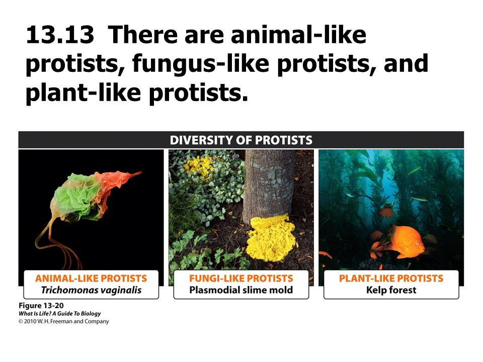 13.13 There are animal-like protists, fungus-like protists, and plant-like protists.