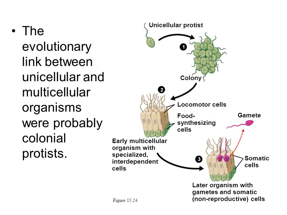 The evolutionary link between unicellular and multicellular organisms were probably colonial protists. Figure 15.24 Unicellular protist Colony Locomot