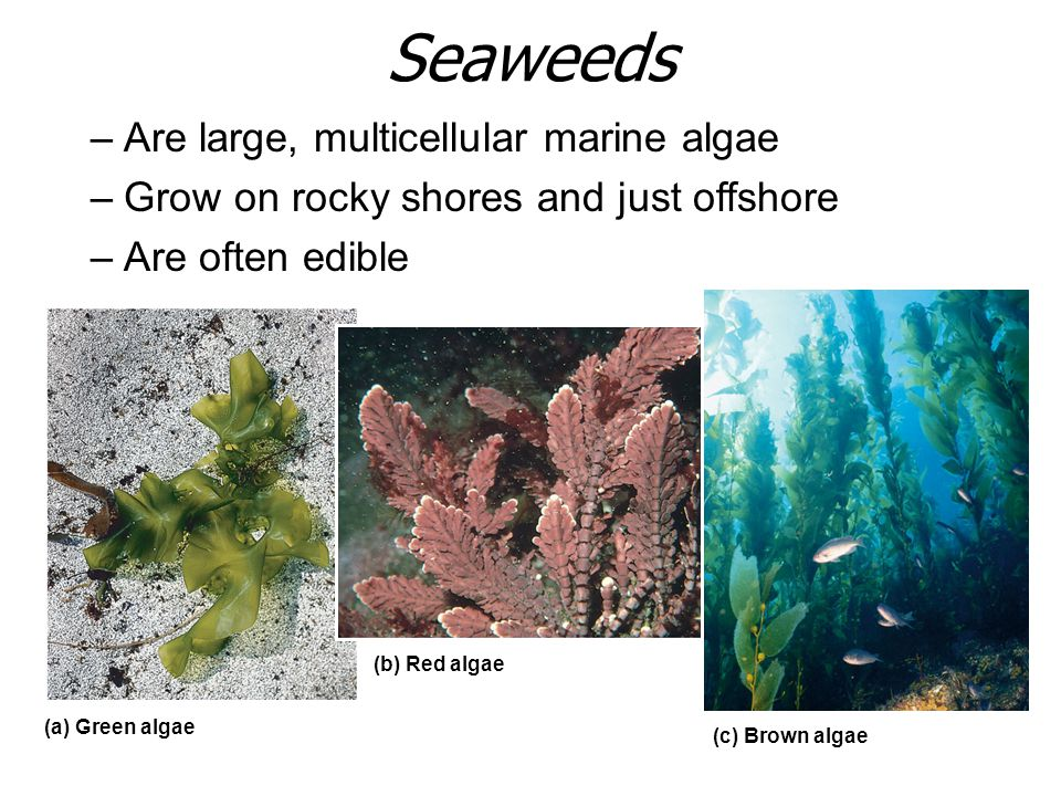 Seaweeds –Are large, multicellular marine algae –Grow on rocky shores and just offshore –Are often edible (a) Green algae (b) Red algae (c) Brown alga