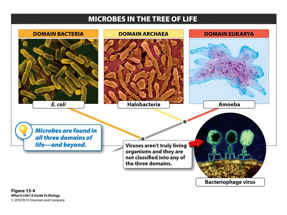 13.16 Viruses are responsible for many health problems.