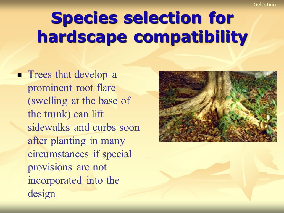 Species selection for hardscape compatibility Trees that develop a prominent root flare (swelling at the base of the trunk) can lift sidewalks and cur