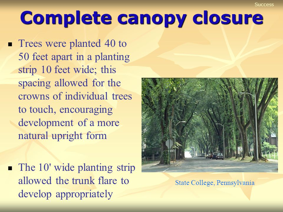 Complete canopy closure Trees were planted 40 to 50 feet apart in a planting strip 10 feet wide; this spacing allowed for the crowns of individual tre