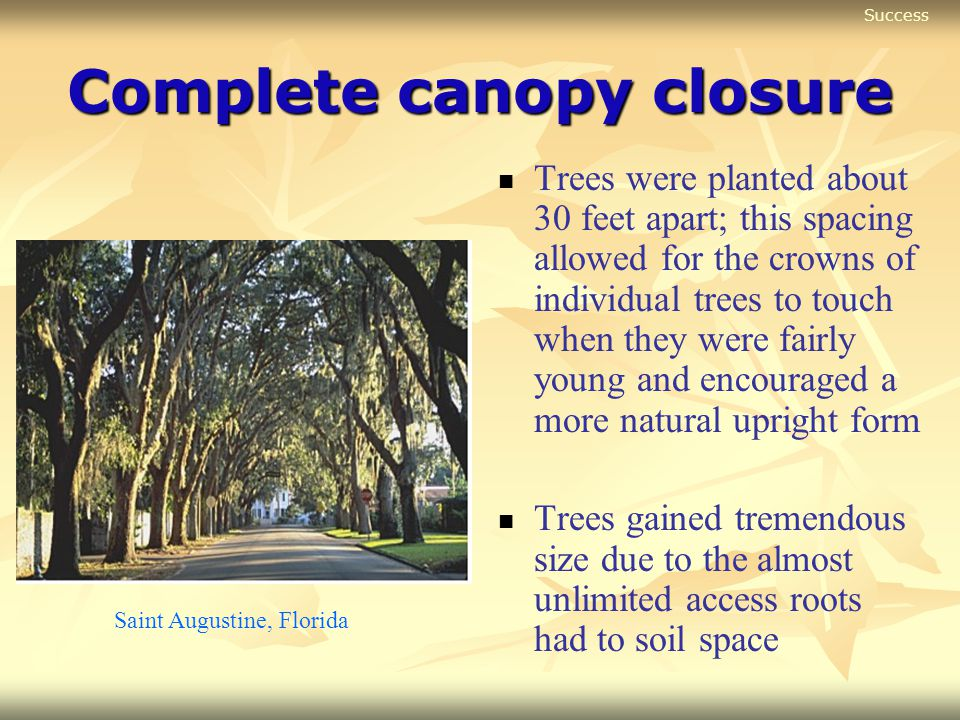 Complete canopy closure Trees were planted about 30 feet apart; this spacing allowed for the crowns of individual trees to touch when they were fairly