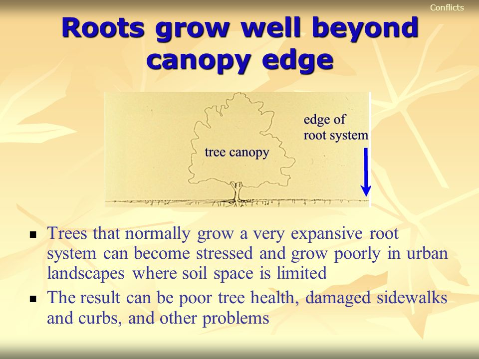 Roots grow well beyond canopy edge Trees that normally grow a very expansive root system can become stressed and grow poorly in urban landscapes where
