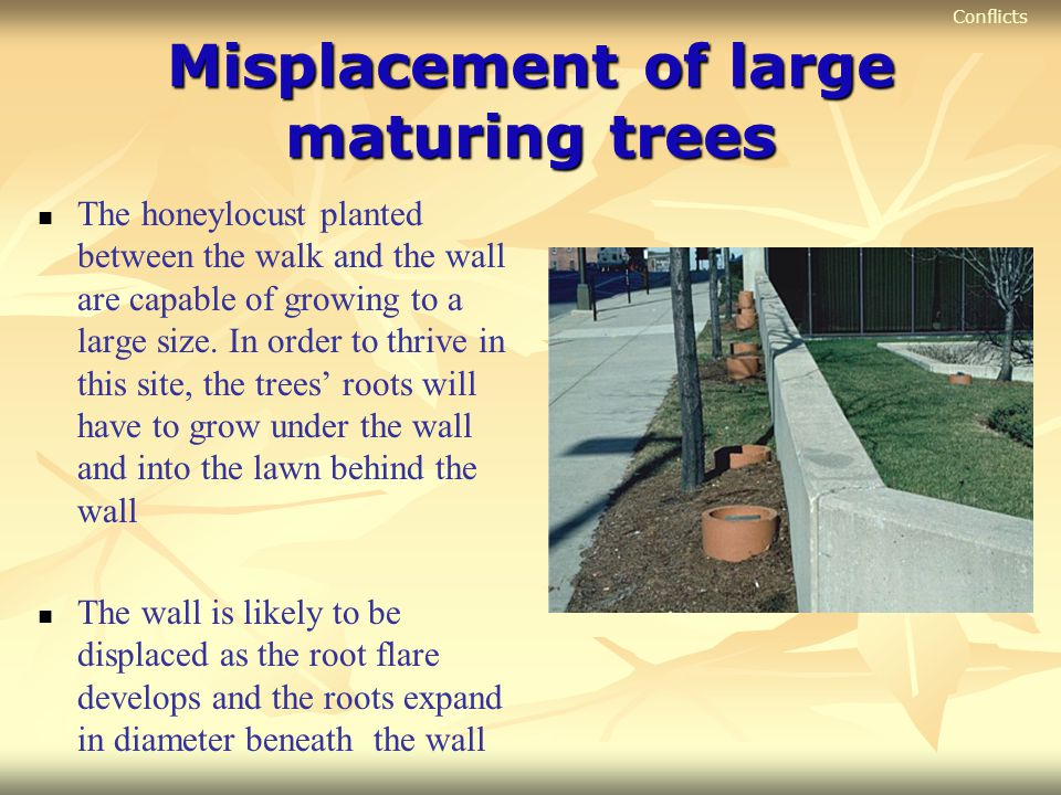 Misplacement of large maturing trees The honeylocust planted between the walk and the wall are capable of growing to a large size. In order to thrive