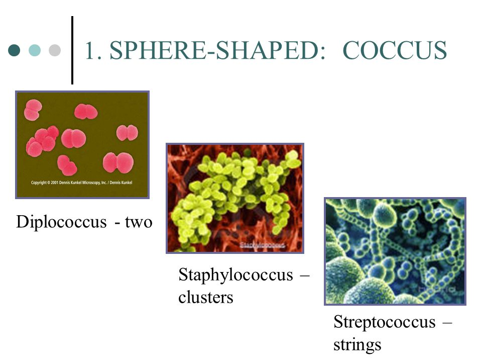 1. SPHERE-SHAPED: COCCUS Diplococcus - two Staphylococcus – clusters Streptococcus – strings