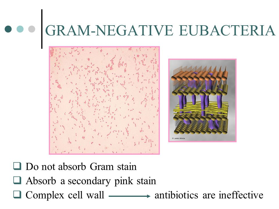 GRAM-NEGATIVE EUBACTERIA  Do not absorb Gram stain  Absorb a secondary pink stain  Complex cell wall antibiotics are ineffective