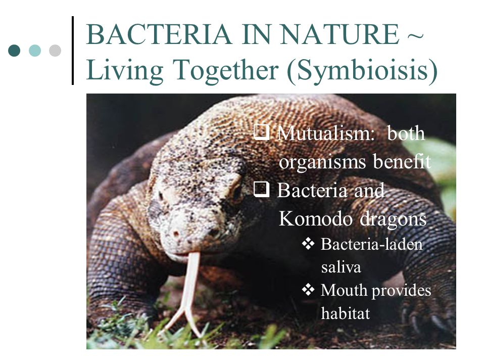 BACTERIA IN NATURE ~ Living Together (Symbioisis)  Mutualism: both organisms benefit  Bacteria and Komodo dragons  Bacteria-laden saliva  Mouth pr