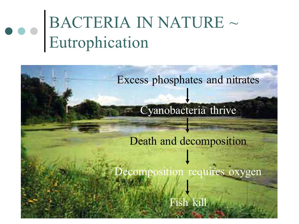 BACTERIA IN NATURE ~ Eutrophication Excess phosphates and nitrates Cyanobacteria thrive Death and decomposition Decomposition requires oxygen Fish kill