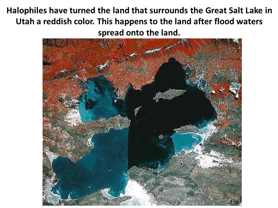 Halophiles have turned the land that surrounds the Great Salt Lake in Utah a reddish color. This happens to the land after flood waters spread onto th